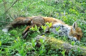 Cambridge fox