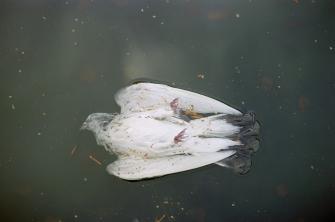 The Dead Dove